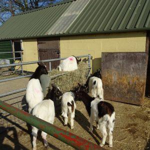 goats near Rye