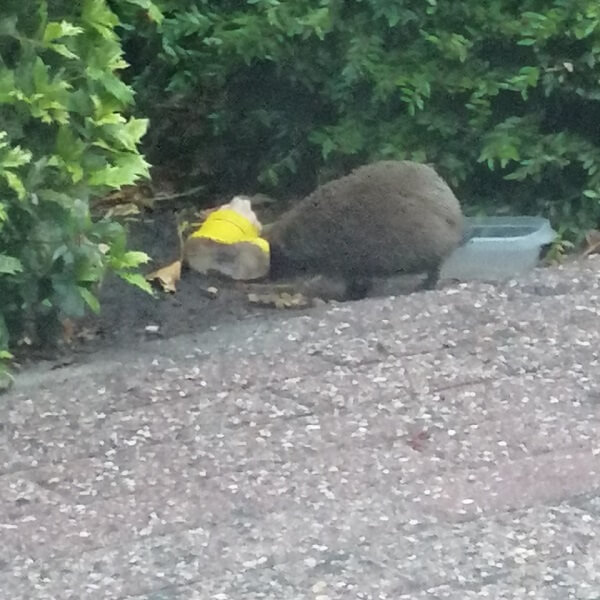 hedgehog in our garden