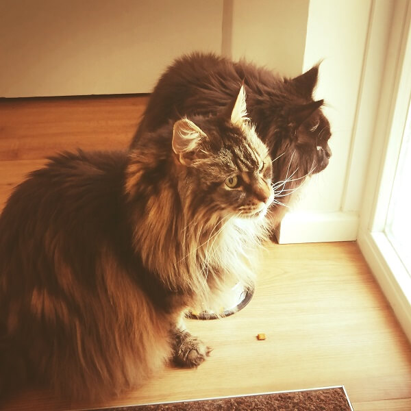our Mainecoons