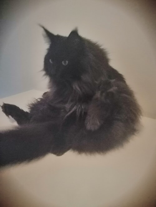 Our Mainecoon