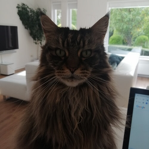 my old Mainecoon