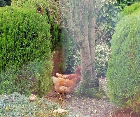chickens in our garden