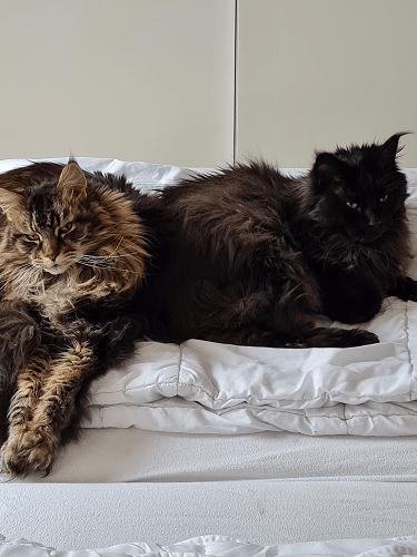 Our two Mainecoons