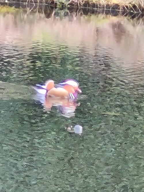 A Mandarin duck mayor maintenance
