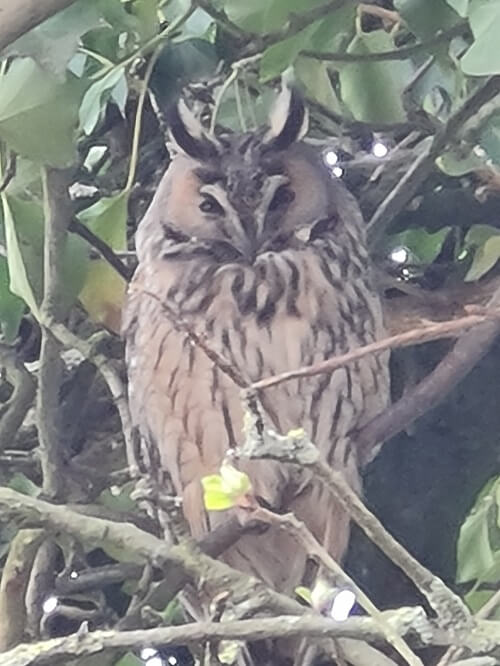 owl in our back garden