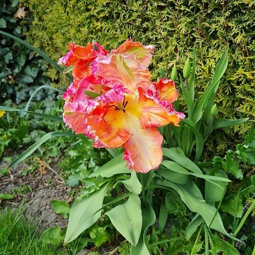 weird tulip in my garden