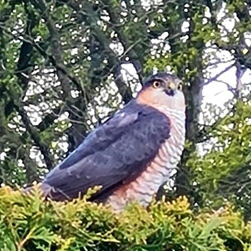 sparrowhawk in our garden