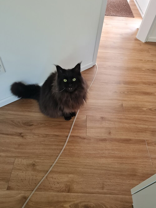 our own Mainecoon