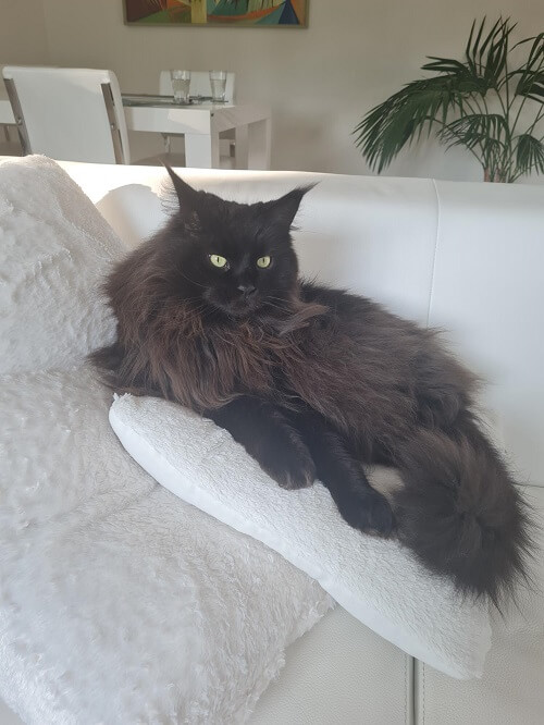 Our Mainecoon Castor